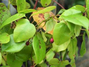 Berberidopsis beckleri