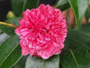 Camellia 'Betty Robinson'