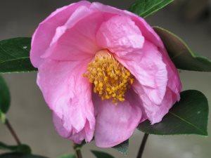 Camellia reticulata x sasanqua 'Show Girl'