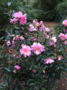 Camellia 'Show Girl'