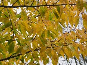 Prunus 'Jo-nioi'