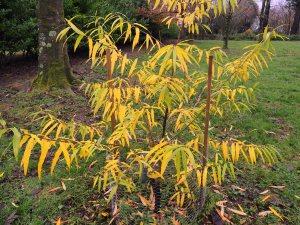 Salix udensis 'Golden Sunshine'