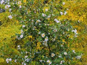 Camellia sasanqua 'Narumigata' and Gingko biloba