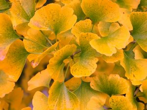 elderly gingkos