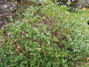 Salvia x jamensis 'Hot Lips'