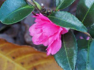 Camellia sasanqua 'Elfin Sun'