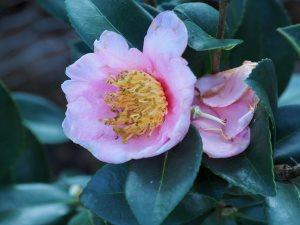 Camellia sasanqua 'Pink Goddess'