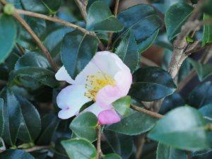 Camellia sasanqua 'Versicolor'