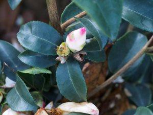 Camellia sasanqua 'Yoimachi'