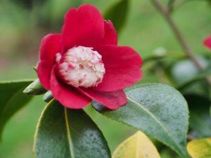 Camellia 'Bokuhan'