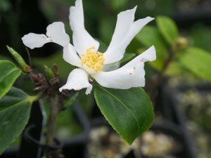 Camellia yushienensis