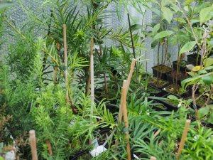 Podocarpus species