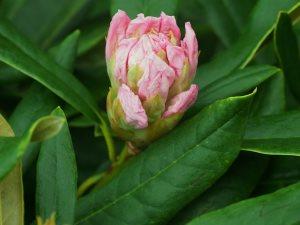 Rhododendron nobleanum 'Album'