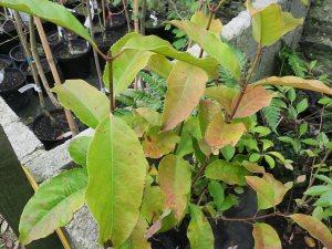 Turpinia formosana