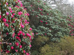 Rhododendron nobleanum and Rhododendron 'Winter Intruder'