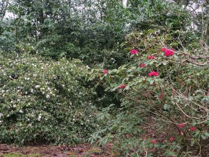 Rhododendron 'Winter Intruder' and Camellia 'Winton'