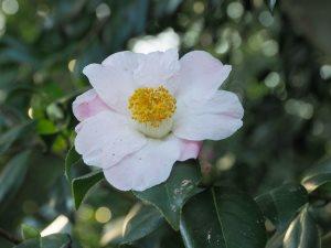 Camellia x williamsii 'Charles Michael'