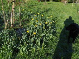 'King Alfred' daffodils