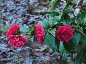 Camellia 'Volunteer'