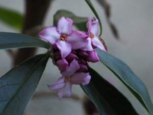 Daphne bholua 'Mary Rose'