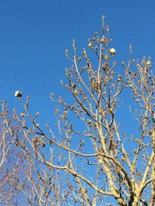 Magnolia campbellii var. alba 'Strybing White'