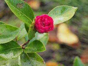 Camellia x hiemalis 'Dazzler'