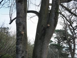Trimming of lower branches