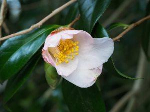 Camellia x williamsii 'Beatrice Michael'