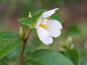 Camellia grishii