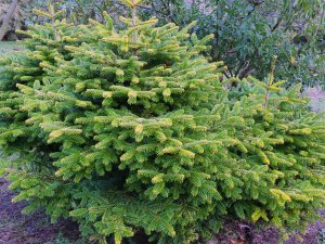 Picea glauca 'Piccolo'