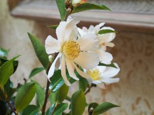Camellia 'Narumigata'