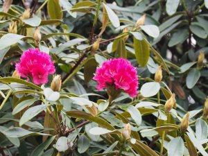 Rhododendron nobleanum