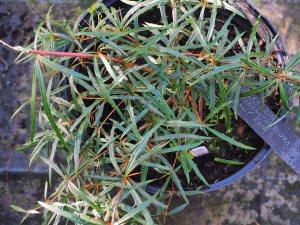 Berberis triaganthophora 'Cathy Rose'