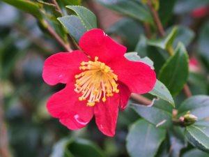 Camellia x hiemalis 'Yuletide'