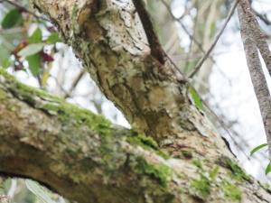 Cotoneaster glabratus