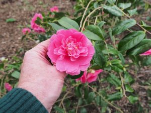 Camellia x williamsii 'Caerhays'