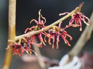 Hamamelis x intermedia 'Pinish Orange'