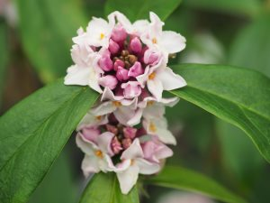 Daphne bholua 'Peter Smithers'