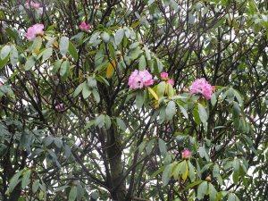 Rhododendron arboreum ssp. delavayi var. albotomentosum