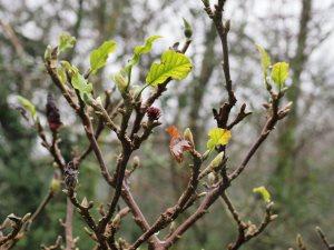 Magnolia 'March-till-Frost'
