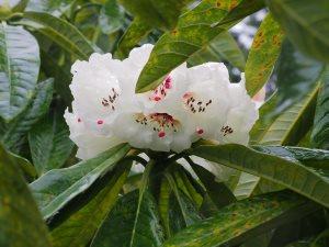 'true' Rhododendron grande seedling
