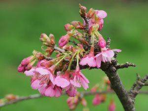Prunus 'Kursar'