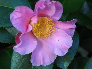 Camellia x williamsii 'Mary Larcom'