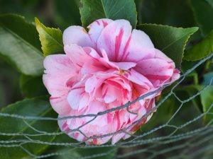 Camellia japonica 'Italiana Vera'
