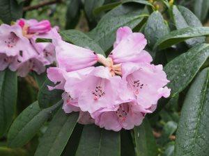 Rhododendron sutchuanense