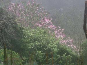'Caerhays Belle' seedling