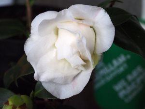 Camellia 'Betty Sheffield Supreme'