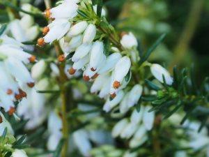 Erica carnea 'Winter Snow'