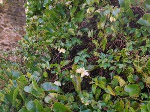 Clematis cirrhosa var. balerica