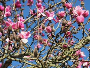 sister seedling to Magnolia 'Caerhays Belle'